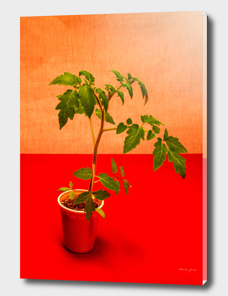Very simple still life with tomatoes