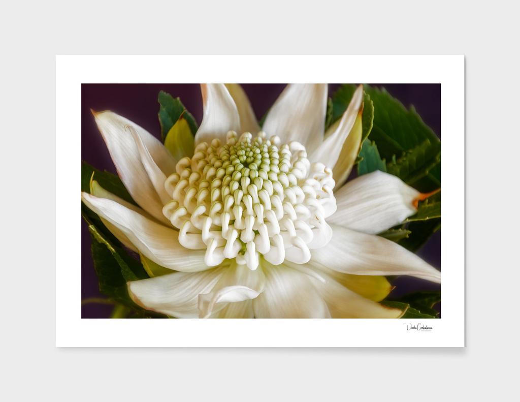 White Waratah Flower