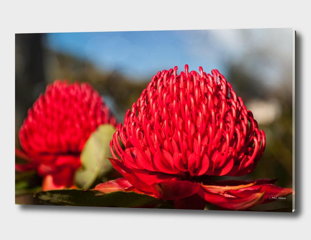 Huge red Waratah flowerheads in spring