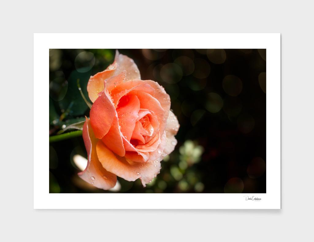 Rain on a lovely rose