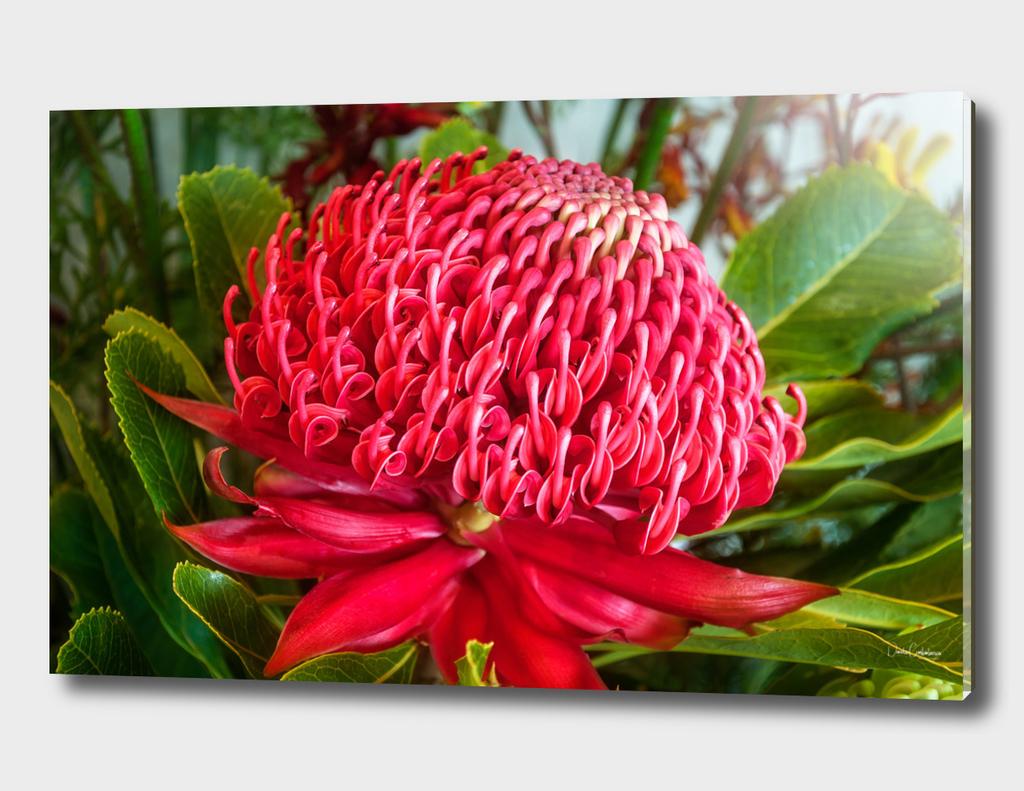 Red Waratah Flower