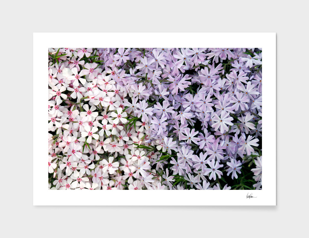 Purple and Pink Flowerbed