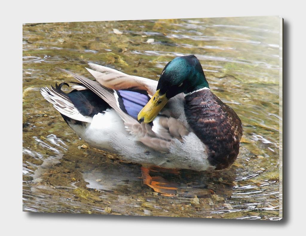 Bathing Duck (1)