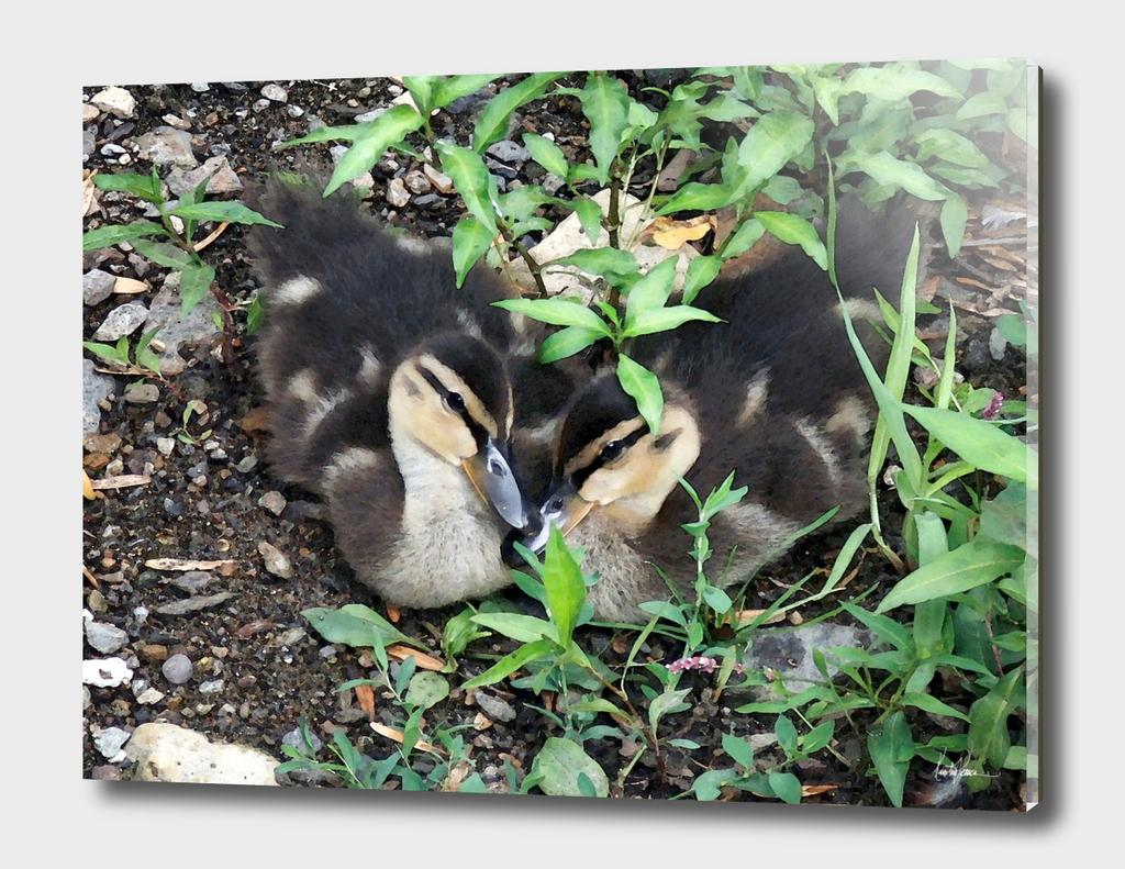 Duckling Love