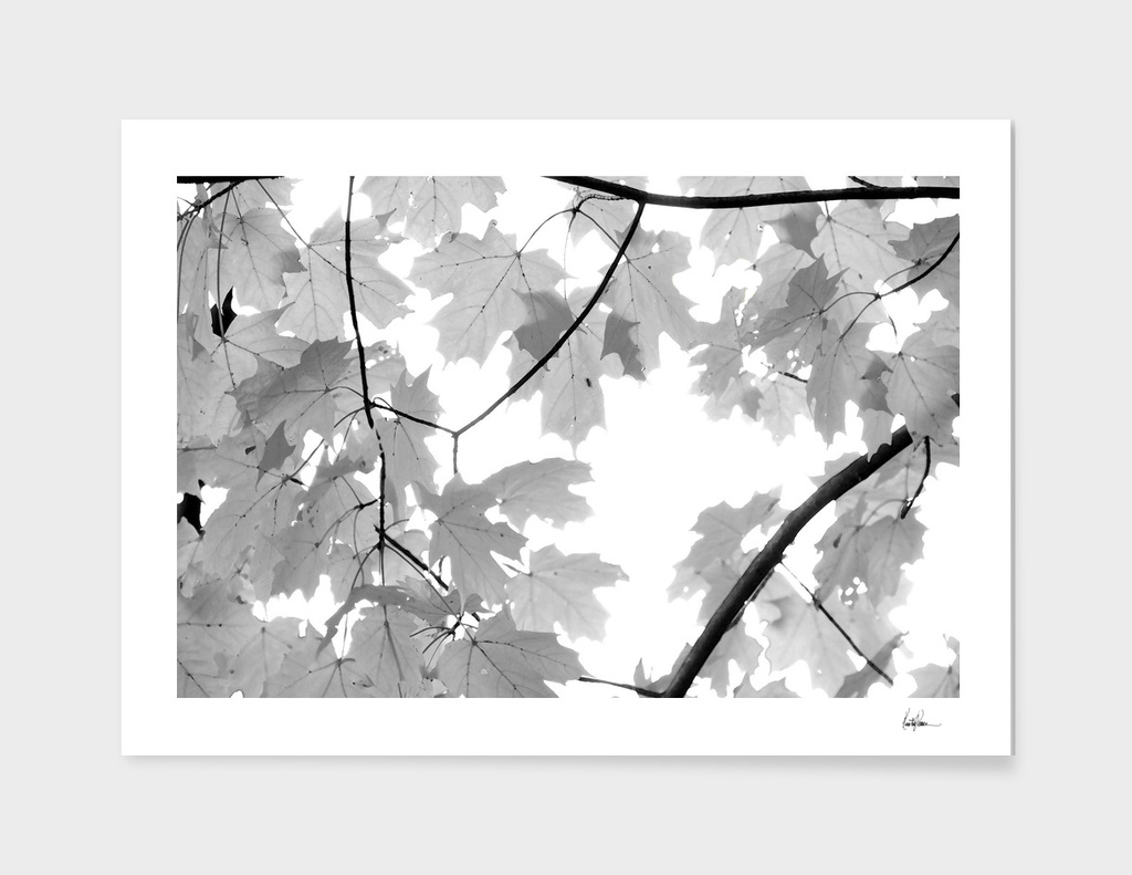 Maple Leaves BW