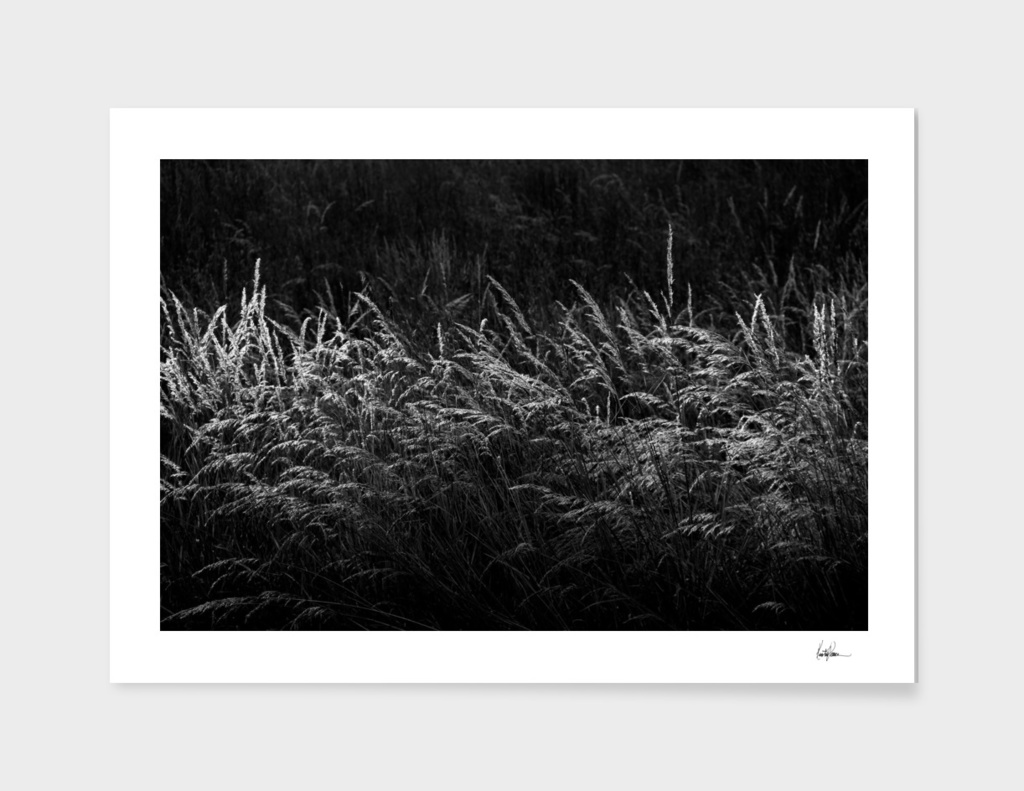 Grass at Sunset BW