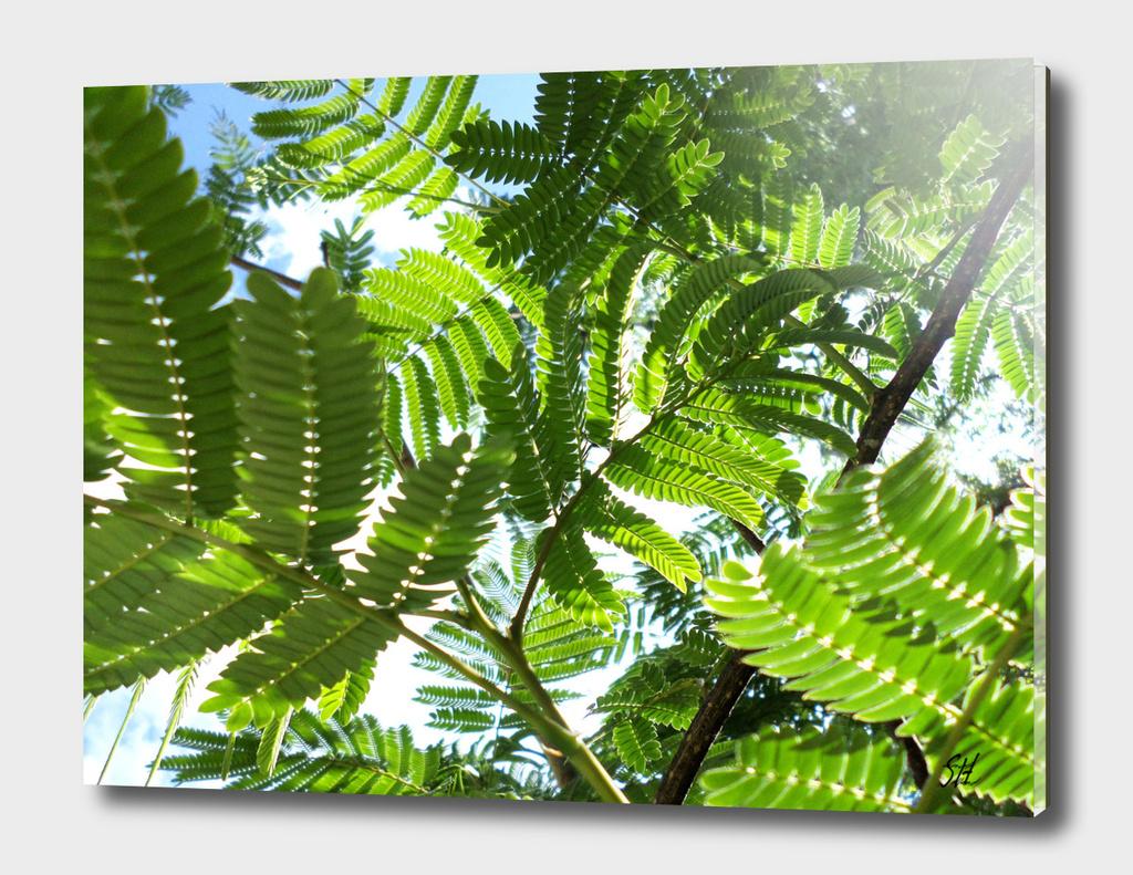 Mimosa Ferns