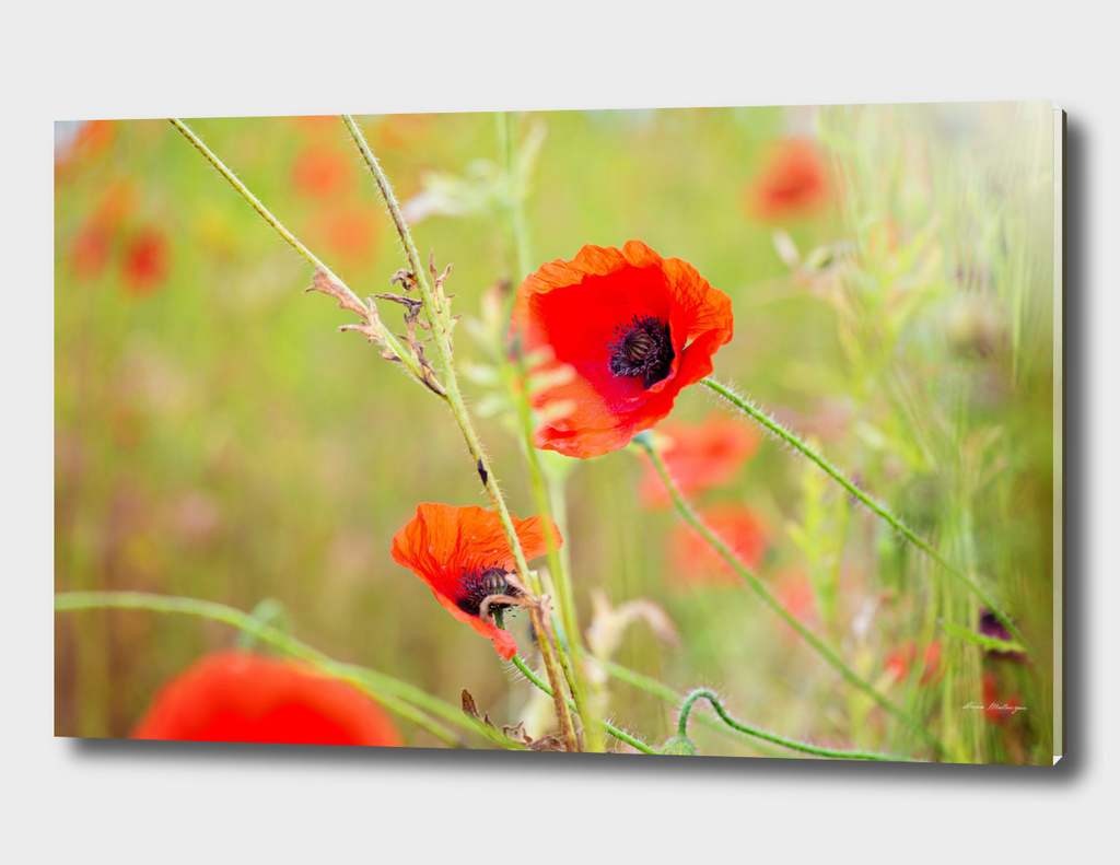 Tender shot of red poppies