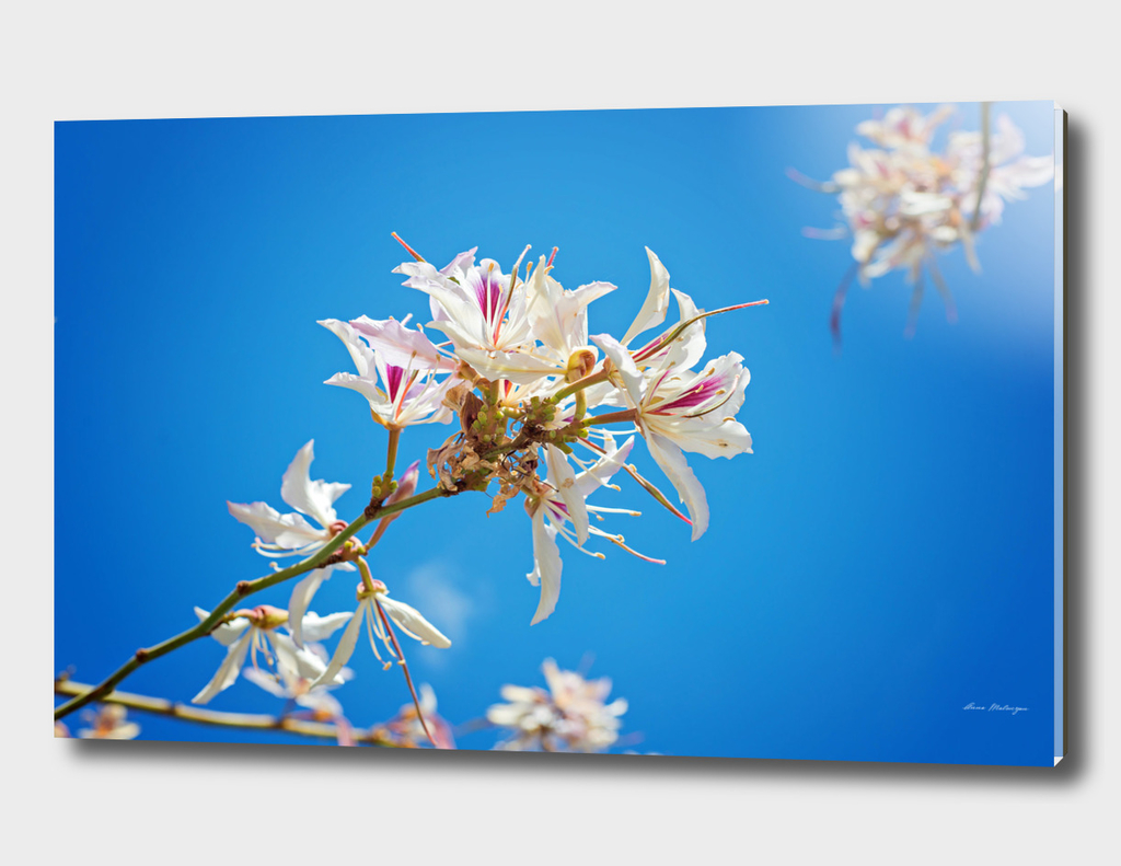 White flowers with pink over blue background