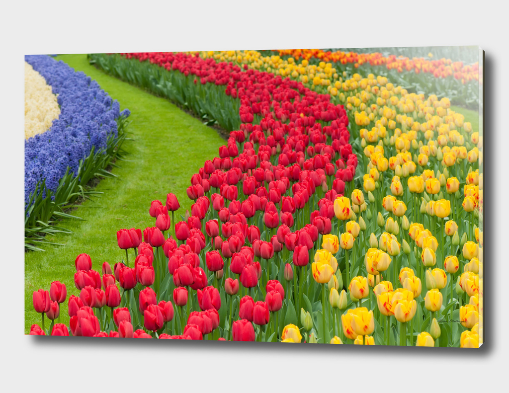 Flower beds of multicolored tulips