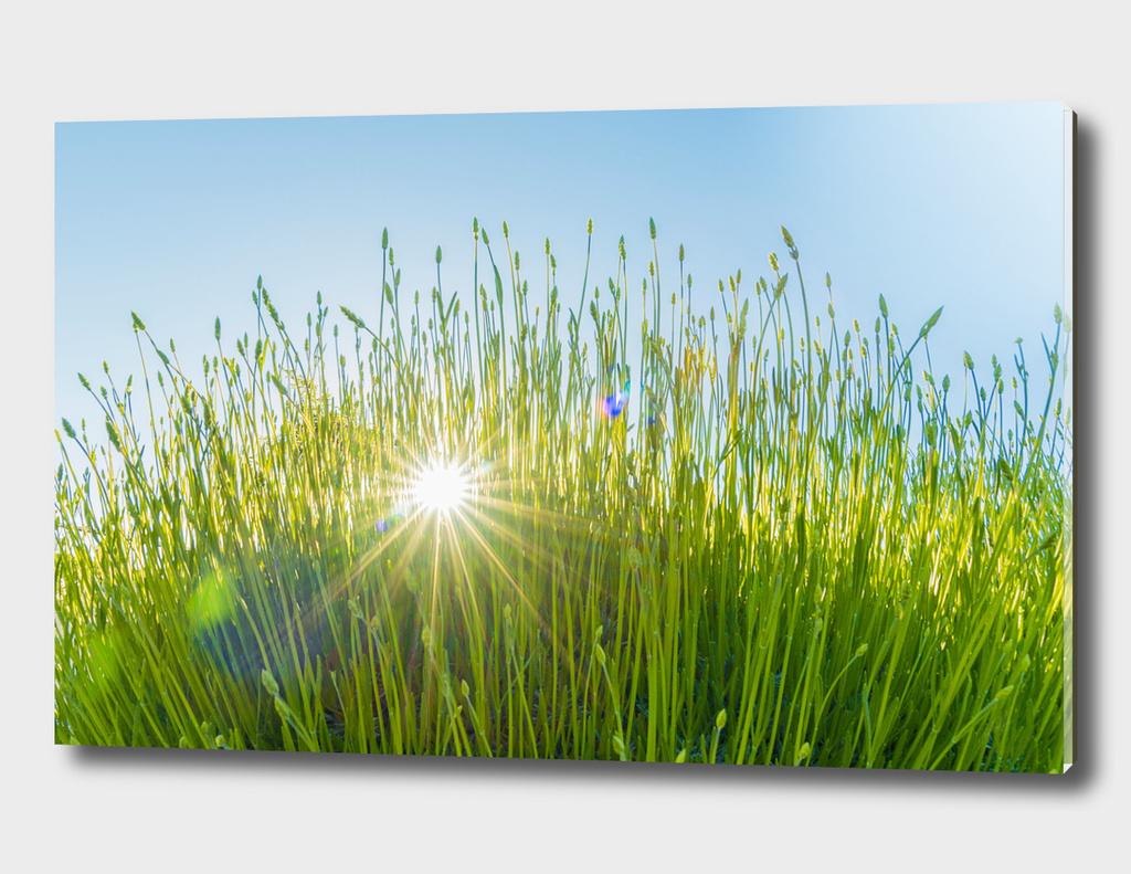 Sunburst Summer Grass