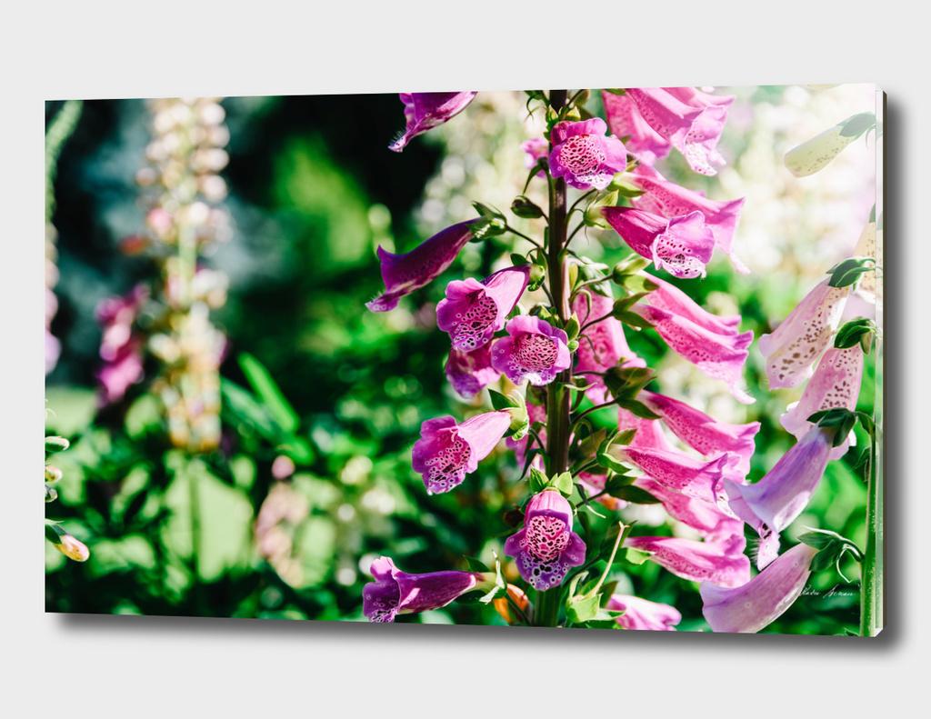 Pink Digitalis Foxgloves Plant Flowers In Garden