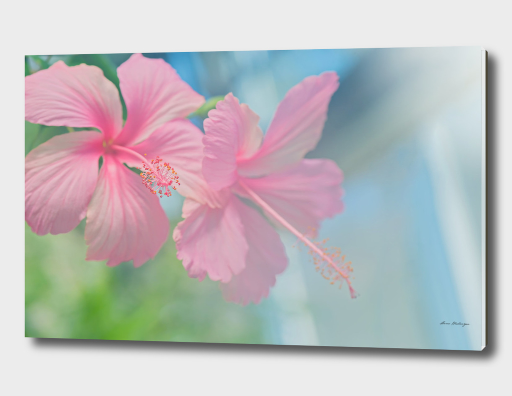 Tender macro shoot of pink hibiscus flowers