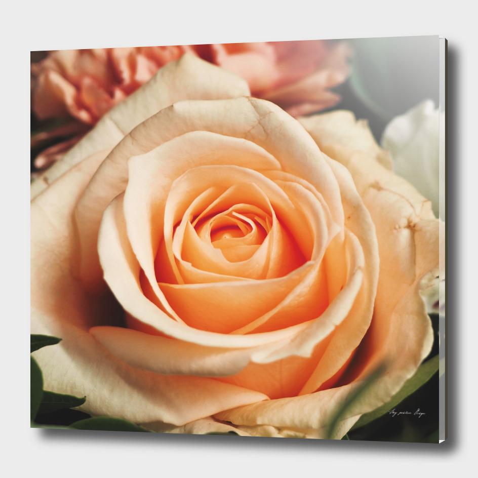 Romantic Rose Pink Rose