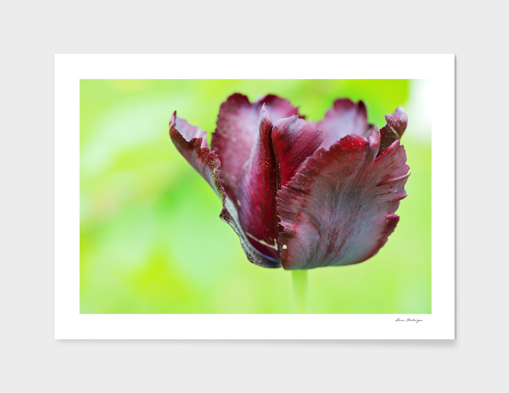 Gorgeous dark macro tulip over green background