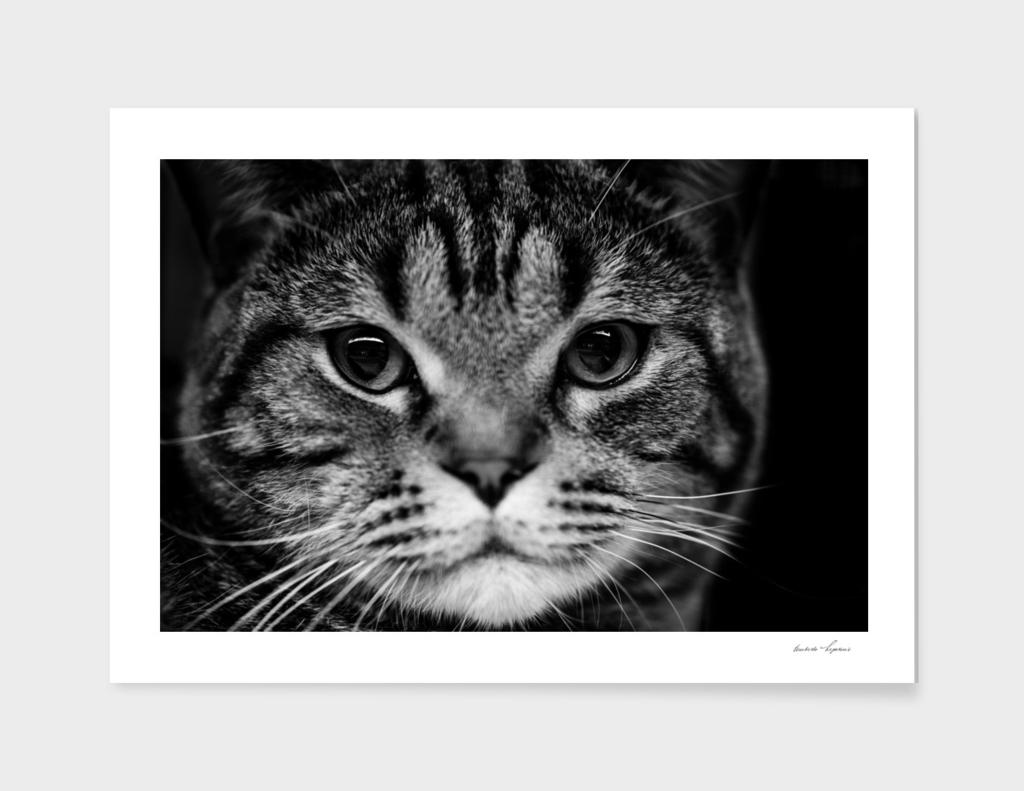 scottish kitten