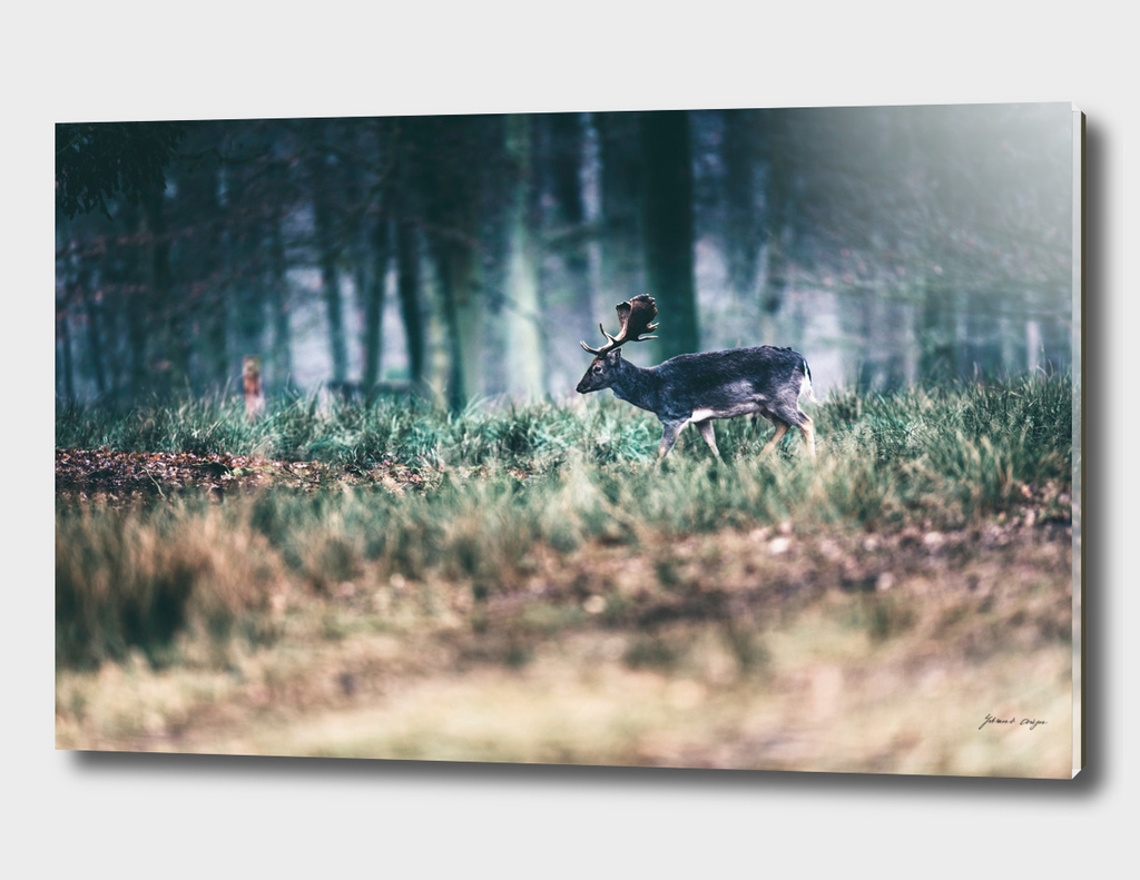Fallow deer stag in field of forest