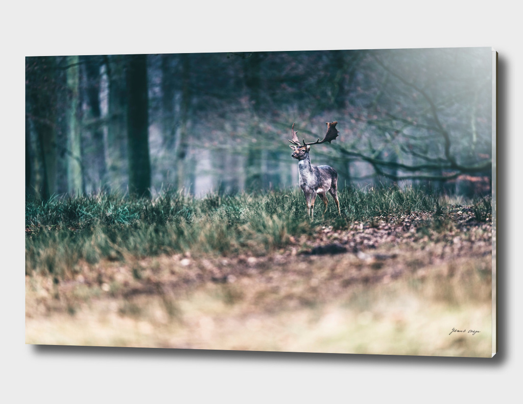 Fallow deer with antlers standing in forest field.