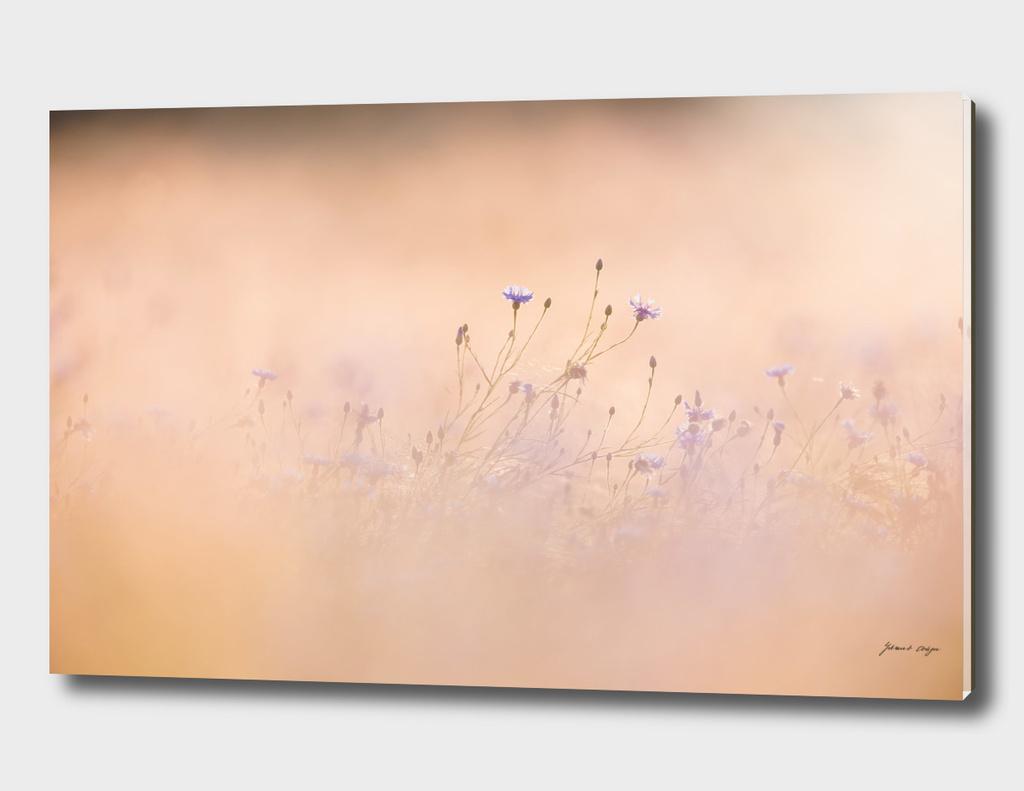 Wild purple flowers in yellow field