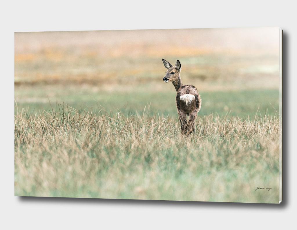 Roe deer doe standing in field looking aside