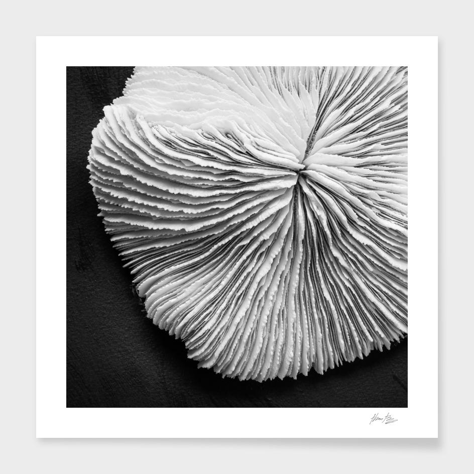 Seashell Study No.5