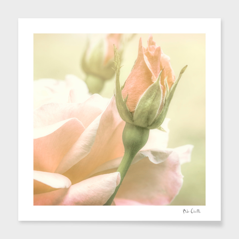 Softly Rose