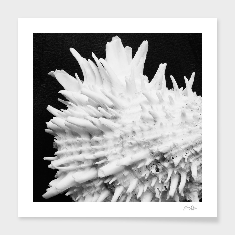 Seashell Study No.9