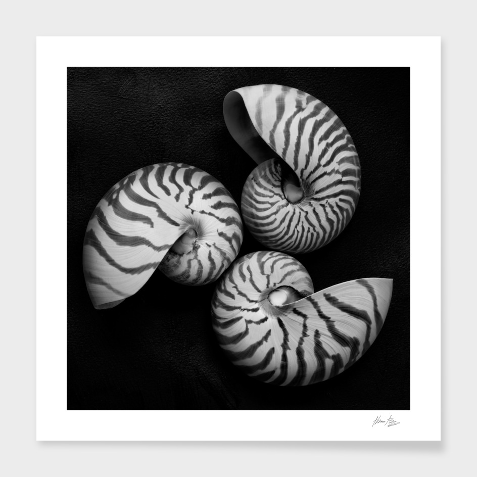 Seashell Study No. 11