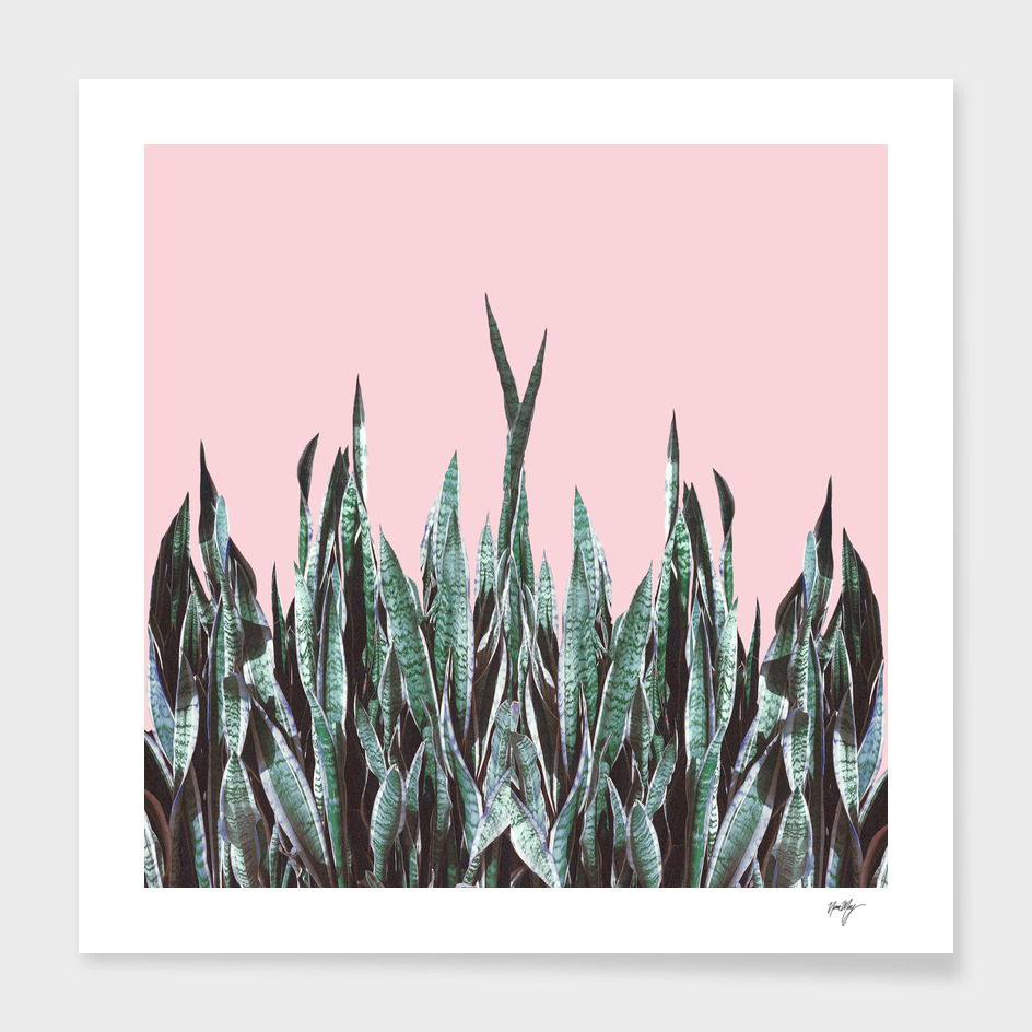 BH Snake Plants