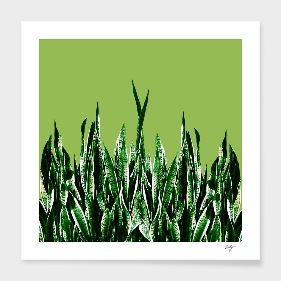 BH Green Snake Plants