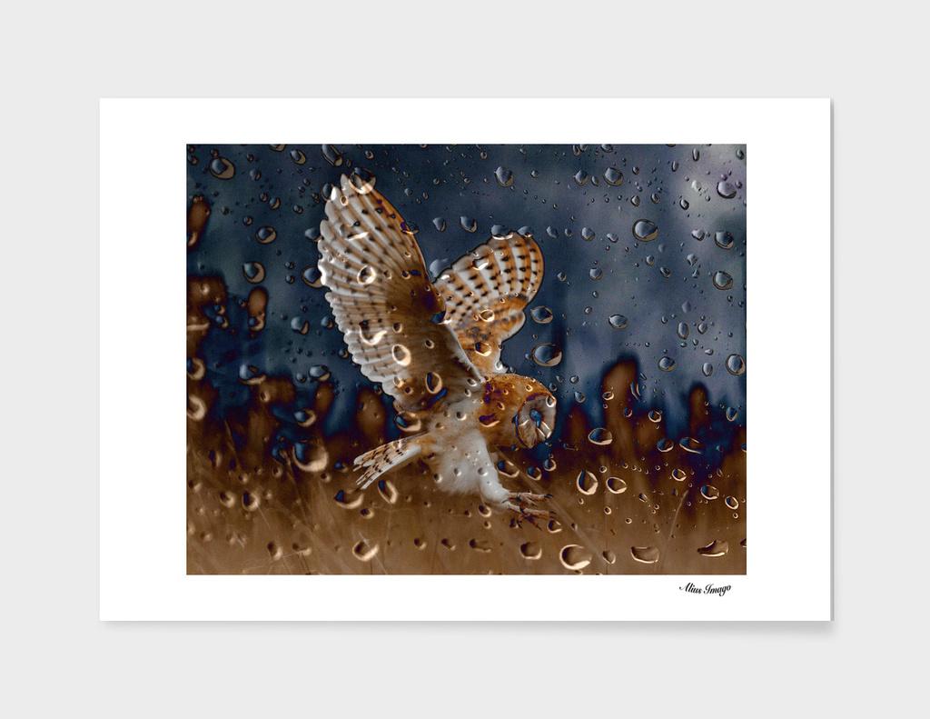 Raindrops-Barn Owl