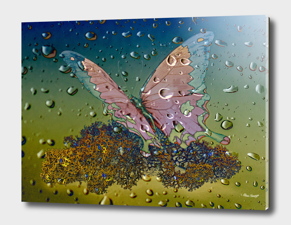 Raindrops-Madagascar Mocker Swallowtail Butterfly