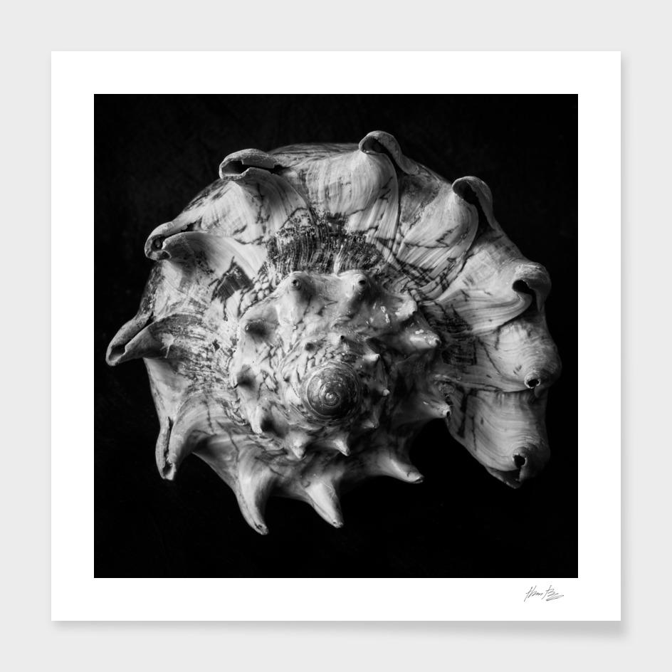 Seashell Study No.17