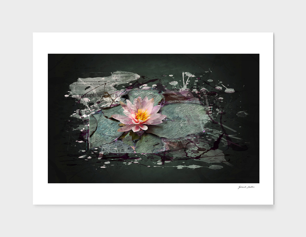 Nymphea - Water Lily, Lotos Flowers in a Pond