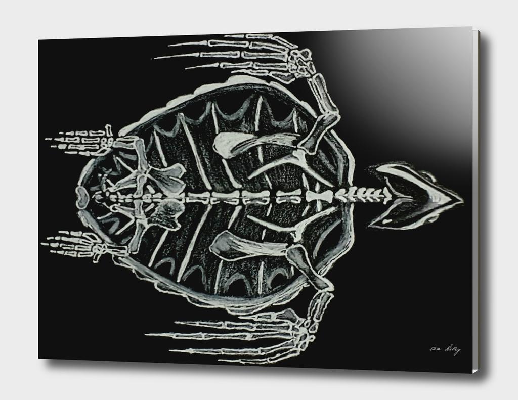 Caretta Caretta (Longhead Turtle)