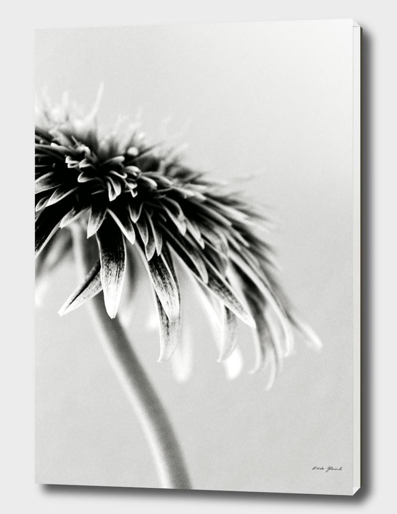 Gerbera Daisy 1