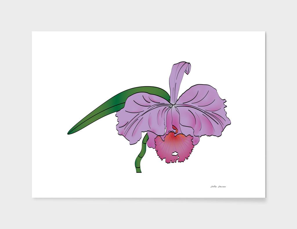 Orchid flower, Purple Cattleya
