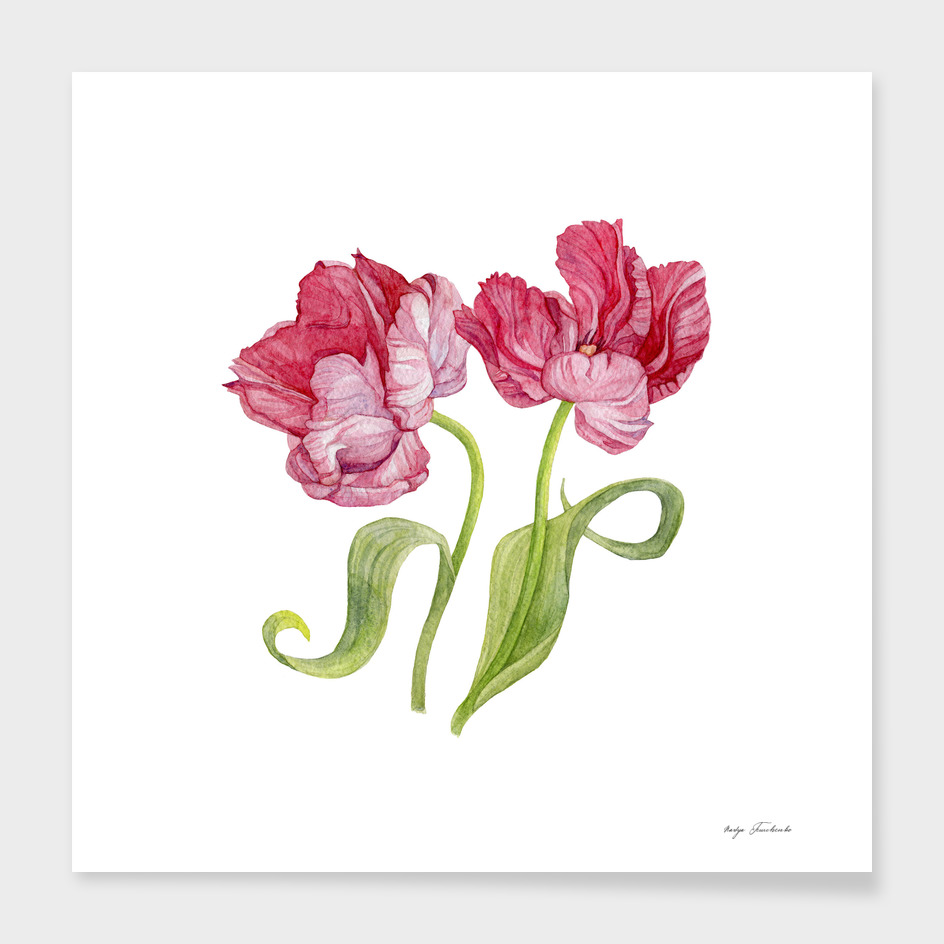 Tulip flowers. Botanical illustration.