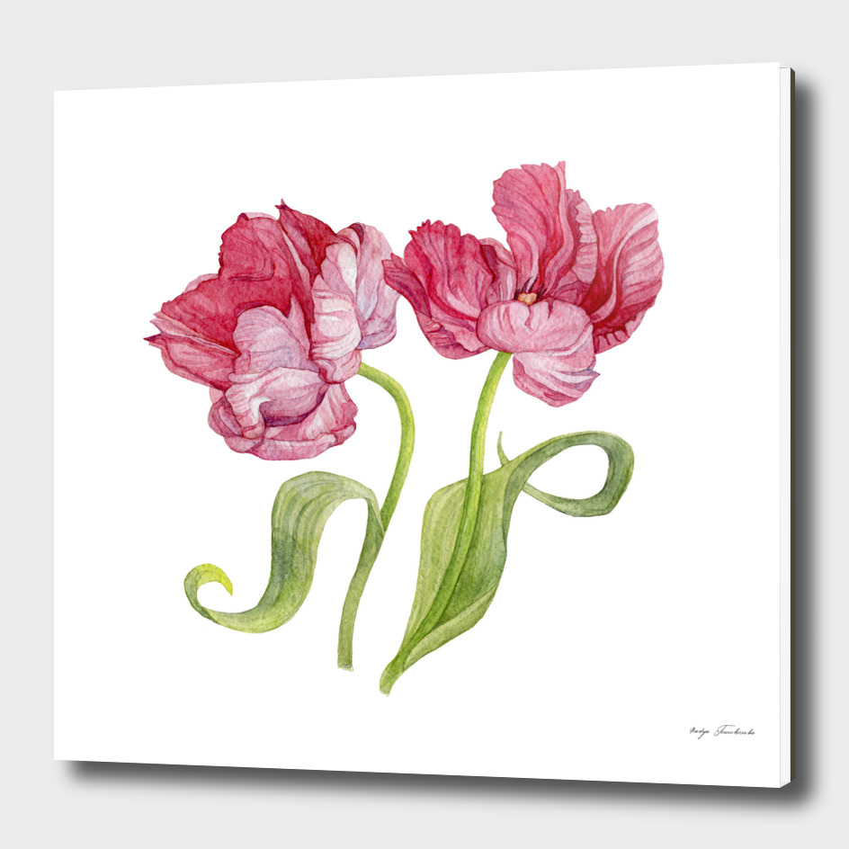 Tulip flowers. Botanical illustration.