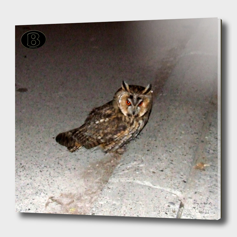 Long-eared owl - Banstolac DSCF1766_D