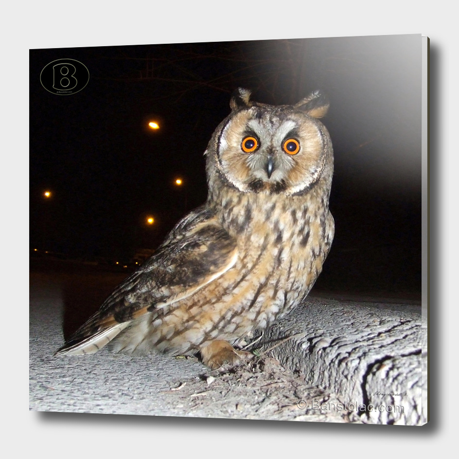 Long-eared owl - Banstolac DSCF1770_D