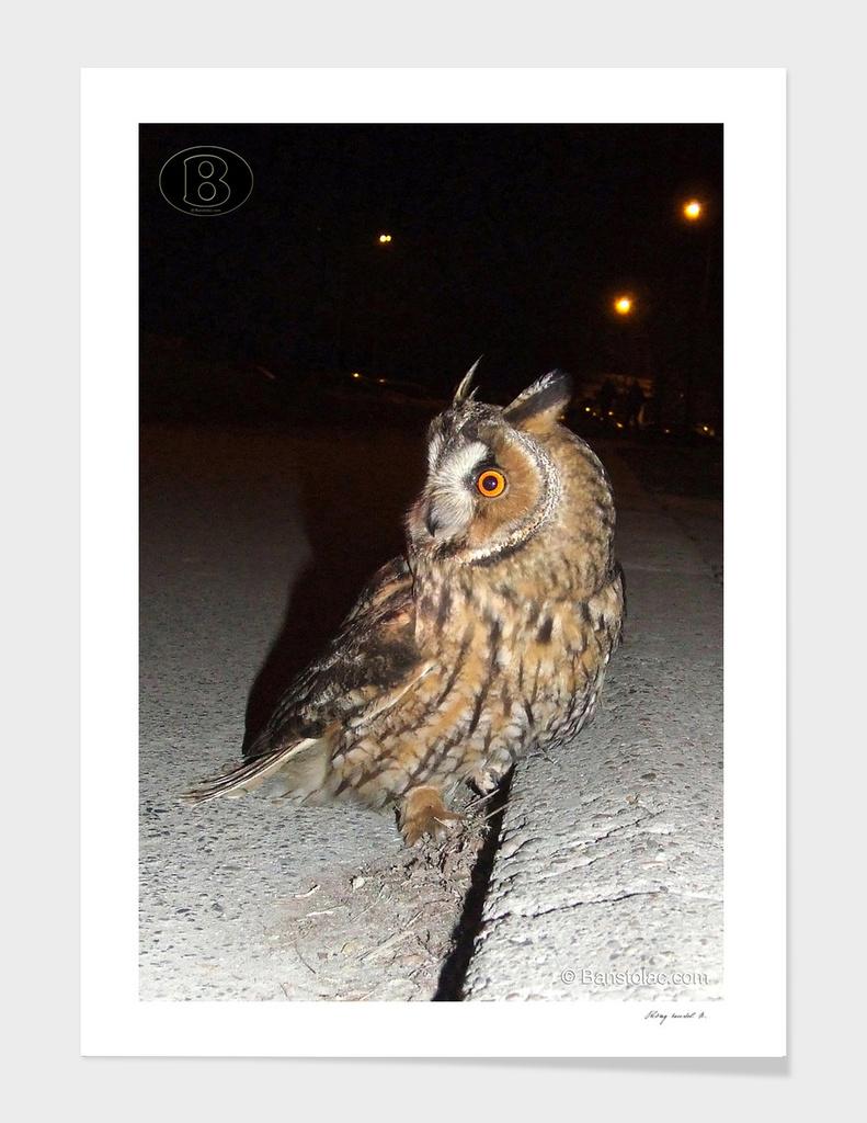 Long-eared owl - Banstolac DSCF1767_D