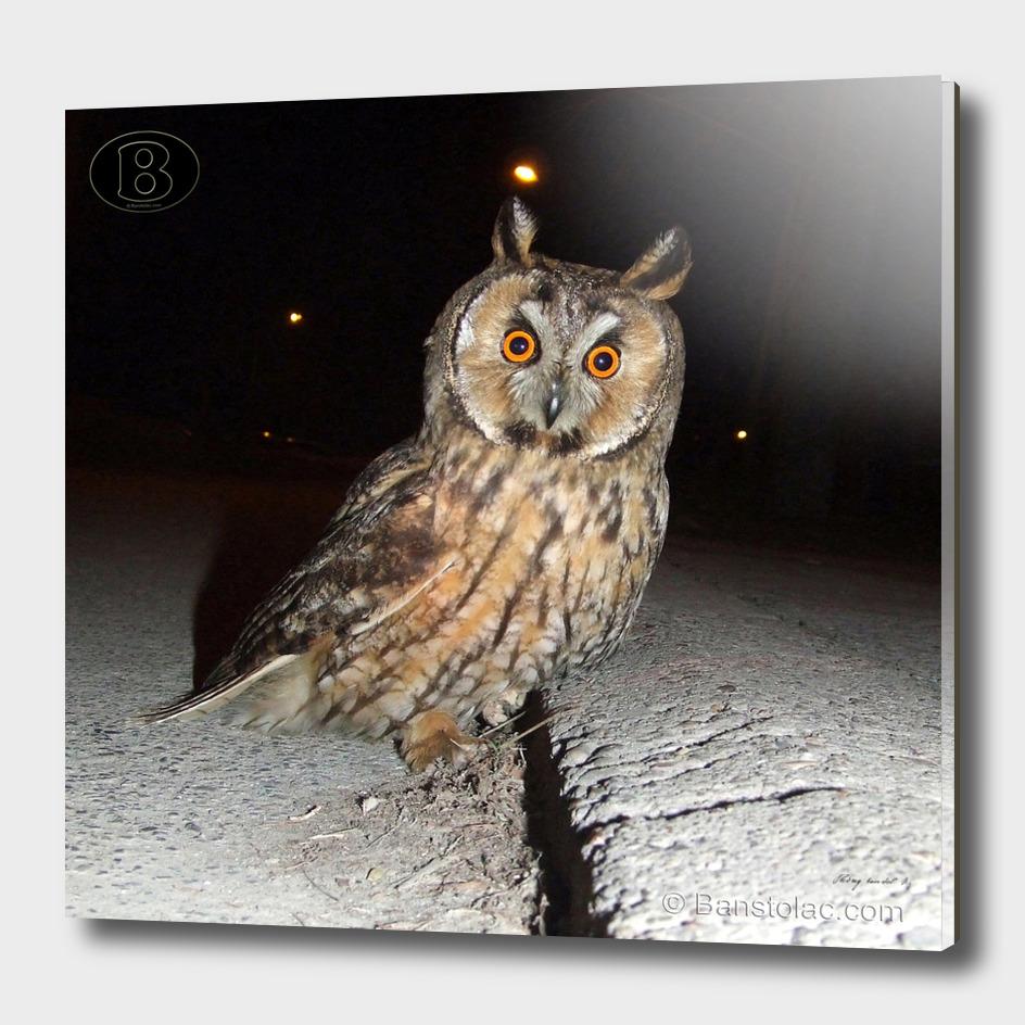 Long-eared owl - Banstolac DSCF1769_D