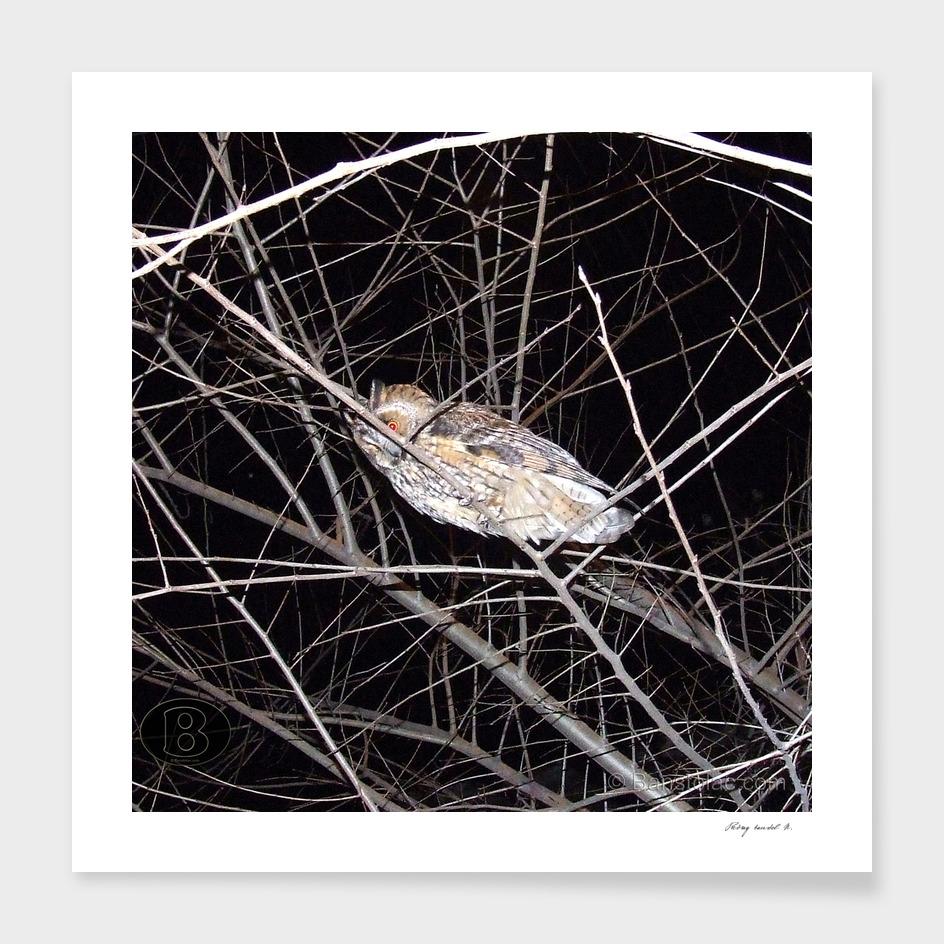 Long-eared owl - Banstolac DSCF1771_D