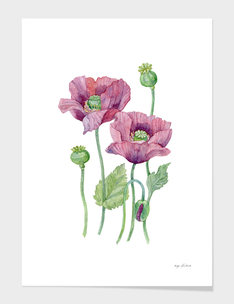 Poppy flowers.
