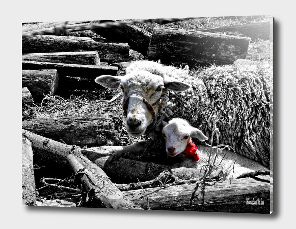 Ewe and Newborn lamb