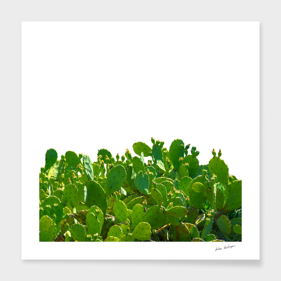green cactuses