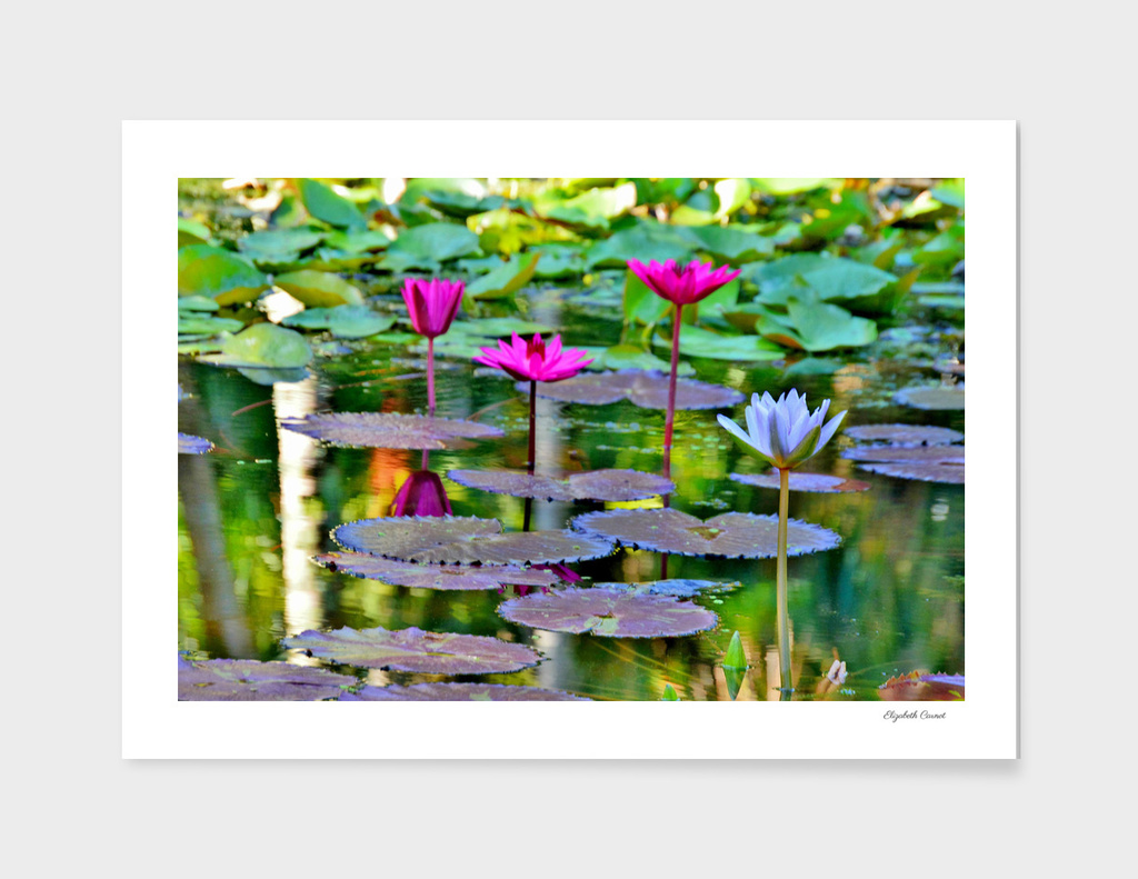 Waterliles