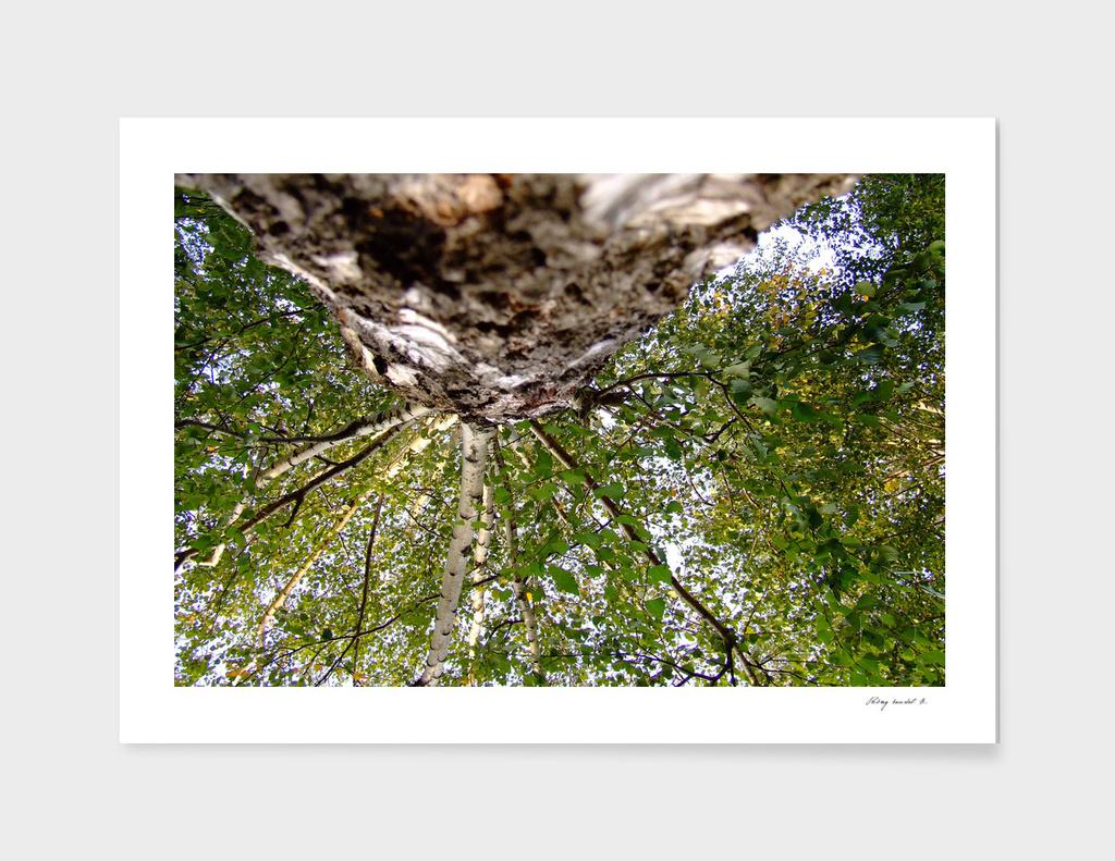 Birch B Dscf1359