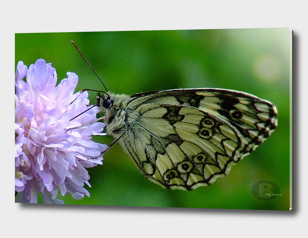 Butterfly on cornflower B1 by Banstolac